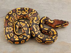 ball pythons - Google Search