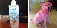Did a Grocery Store Shampoo Turn This Dog Pink?.........A man reported to UK-based company Tesco that its dog shampoo had turned his Labrador retriever pink.
