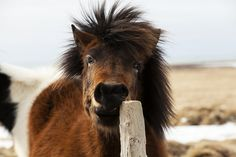 The Icelandic Horse is one of the world's oldest breeds.