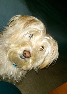 Love u sooooo much! Wheaten Terrier Mix, Loving U, Dogs, Animals, Animales, Animaux, Pet Dogs, Doggies, Animal