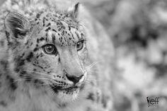 Snow Leopard, Uncia uncia #wildlife #photography