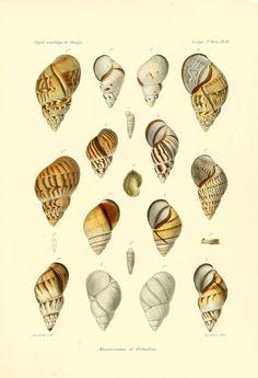 https://flic.kr/p/ac5vet | n786_w1150 | à 30tudes sur les mollusques terrestres et fluviatales du Mexique et du Guatemala. t.1. Paris :Imprimerie impériale,1870-1902. biodiversitylibrary.org/page/32562579