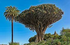 werner boehm * posted a photo:  Dracaena draco,  the Canary Islands dragon tree or drago,  is a subtropical tree-like plant in the genus Dracaena,  native to the Canary Islands, Cape Verde, Madeira, and locally in western Morocco, and introduced to the Azores.  It is the natural symbol of the island of Tenerife  @ikipedia