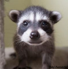 Cute baby raccoon pictures   #raccoon   #babyraccoon   #cuteraccoon   #sweetraccoon   #littleraccoon  #cutebabyraccoon #babyanimals   #cuteanimals   #sweetanimals  #littleanimals