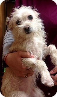 Torrington, CT - Chihuahua/Poodle (Miniature) Mix. Meet Beatrice a Dog for Adoption.