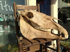 Vintage Horse Skull Gigantic Taxidermy Adult by TheIDconnection, $425.00