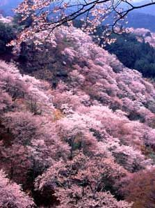 Around 30,000 cherry trees come into bloom every spring at Mt. Yoshino in Nara Prefecture, which has been inscribed on the UNESCO World Heritage Site.