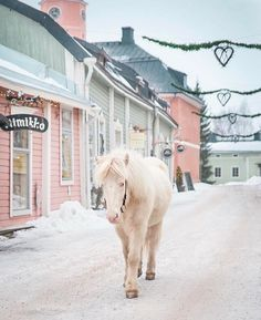 3,627 vind-ik-leuks, 24 reacties - Horses of Iceland (@horsesoficeland) op Instagram: 'It just doesn't get more cosy than this -  an Icelandic horse Embla taking a walk in Porvoo…'