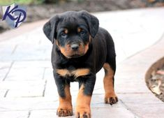 Boss – Rottweiler Puppy www.keystonepuppies.com #keystonepuppies #rottie #rottweilerpuppy