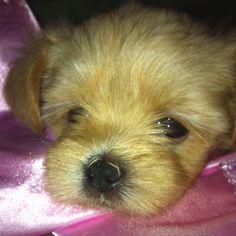 #maltipoo #dogs #cute Shorkie mix