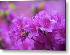 Glowing Bloom of Rhododendron Purple Triumph Metal Print by Jenny Rainbow. All metal prints are professionally printed, packaged, and shipped within 3 - 4 business days and delivered ready-to-hang on your wall. Choose from multiple sizes and mounting options. All Flowers, Beautiful Flowers, Beautiful Pictures, Any Images, Botanical Gardens, Fine Art Photography, Fine Art America, Glow, Framed Prints