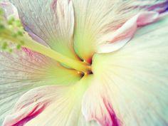 Hibiscus Flower  Home Decor Fine Art Photograph by LupenGrainne, $24.00