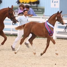 Cha Ching HTF (Contucci-Cordoba) 2011 Dressage at Devon Foal Champion #HTFstallions