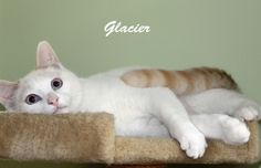 My name is Glacier.  I am a beautiful snowy white boy with orange points and blue eyes.  I was rescued from Jackson pound and have been living in a foster home with my orange brother Hobbes.  My foster mom has taught me manners and how to be a...