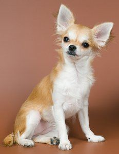Dog Training Tips For Chihuahua Puppies And Adult Dogs Obedience