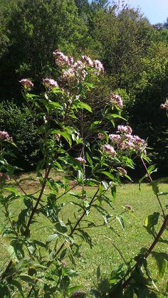 Bernadetts Blog Heilpflanzen und mehr: Der Wasserdost (Eupatorium cannabium)