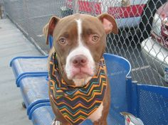 """((PLS HELP))TO BE DESTROYED-10/26/13 SAT. Brooklyn Ctr.  P~""""MIGHTY""""~ID #A0982581. Neutered male brwn & wht pit bull mix.  OWNER SUR 10/19/13. ONLY A BABY @ 1 YEAR OLD!!! Mighty is friendly toward children&  strangers. MIGHTY scored AMAZING!!! on his behavior exams. Volunteers say """"Mighty is more than great dog. He is amazing!!! He is mellow, sweet, incredibly affectionate & good w/ other dogs too!!!"""" PLS HELP SAVE THIS SWEET, SAD & SCARED BABY LIVE & FIND A LOVING HOME."""
