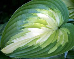 Hosta 'Rare Breed' Photo courtesy of Walters Gardens