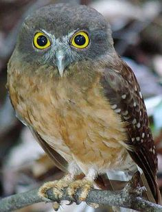is a small brown owl found throughout New Zealand, Tasmania, Australia, Timor, southern New Guinea and nearby islands. It's the smallest owl in Australia. Beautiful Owl, Animals Beautiful, Cute Animals, All Birds, Birds Of Prey, Nocturne, Spotted Owl, Small Owl, Owl Pictures