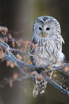 ~~Ural Owl by Dan Praotec Sulc~~