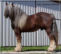Draft Horse - 3722 Sarvar 132 Botond
