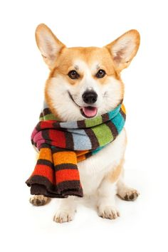 Welsh corgi pembroke wearing stripe scarf on white background Cute Corgi, Corgi Dog, Cute Puppies, Dogs And Puppies, Baby Dogs, Corgi Pictures, Animal Pictures, Welsh Corgi Pembroke, Animals And Pets