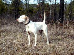 White Pointer Dog | Phillips Whiteline Kennels - Indiana English Pointer Breeders
