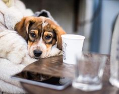 """Lila, Beagle mix (12 w/o), Lorimer & Bedford Ave., Brooklyn, NY • """"She wants to be pet by everyone. She's a rescue from Muscle Shoals, Alabama, a legendary music town."""" @muddypawsrescuenyc"""