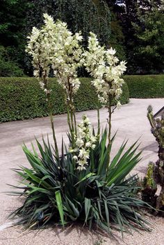 yucca - adam's needle. Great evergreen that will add a tropical feel to any northern landscape.