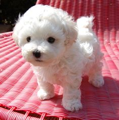 The Bolognese is a small breed of dog of the Bichon type, originating in Italy. It is part of the Toy dog group and is considered a companion dog. Cute Baby Animals, Animals And Pets, Bolognese Puppies, Bichon Bolognese, Cute Puppies, Dogs And Puppies, Doggies, Baby Dogs, Dachshund Puppies