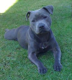 Pit Bulls and Staffordshire Terriers #BullyDogNation #pitbull