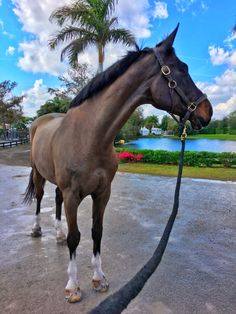 Champagne after a Bath after lungging him , since i can't ride cause am pregnant and lunging my horses for now only- Allie