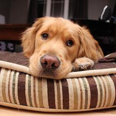 That face though  #dailydog #dog_features #dogaccount #dogsofinstagram #dogsofinstaworld #insta_dog #ilovegolden_retrievers #gloriousgoldens #goldenretriever #goldens_ofinstagram #mydogiscutest #dogscorner #petsofinstagram #welovegoldens #animalpicturecom #lacyandpaws #retrieversgram #mygoldenfeatures #retrieversworld #inthepetspotlights #excellent_dogs #animaladdicts #topdogphoto #dogoftheday #dogs_of_world #weeklyfluff #seamusobrien #cutepetclub by krista_and_bo