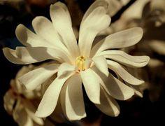 White Star Magnolias
