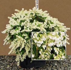 View Plant Great Plant Picks Dwarf Lily Of The Valley