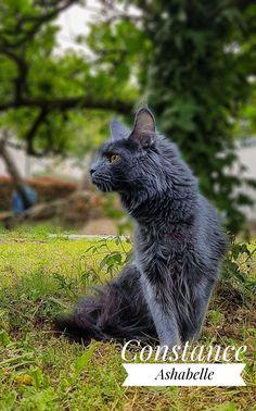 Maine Coon, Animals, Cat Breeds, Animales, Animaux, Animal, Animais