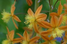 Bulbine - a clumping succulent; uses less water; blooms from mid-spring through fall; loves Texas heat. Very tolerant to heat and drought. Loves full sun but can take light shade (will flower less in shade). Very low water needs.