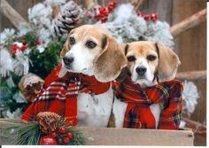 Christmas beagles <3 so cute!