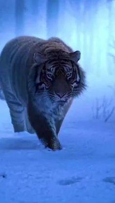 Wild Animals Pictures, Cute Wild Animals, Animals And Pets, Animal Pictures, Funny Animals, Lion Live Wallpaper, Wild Animal Wallpaper, Tiger Wallpaper, Tiger Images