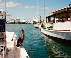 Pelican in the harbor next to Schooner Wharf. Shot with Fuji GF670.