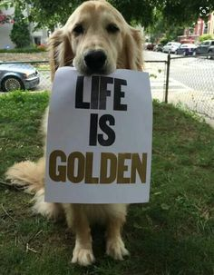 Astonishing Everything You Ever Wanted to Know about Golden Retrievers Ideas. Glorious Everything You Ever Wanted to Know about Golden Retrievers Ideas. Golden Retrievers, Perros Golden Retriever, Golden Retriever Quotes, Golden Retriever Training, Cute Puppies, Cute Dogs, Dogs And Puppies, Labrador Puppies, Dog Id