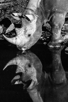 White Rhino,  Estosha National Park, Estosha, rhino photos, Black Rhino, rhinoceros, mirror mirror, mirror, rhino drinking, rhino, rhino reflection, reflection, photo of the day, photobotos