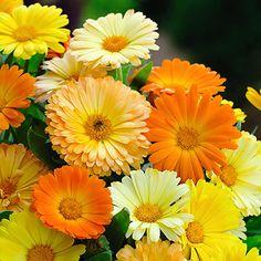 Ringelblume Daisy Mischung - Blumensamen