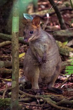 Red legged pademelon at Mary Cairncross Scenic Reserve