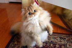 2019 Beautiful Chinchilla Persian Kittens For Sale in Illinois, Golden Persian kittens for sale, Healthy Persian Kittens for sale Siamese Kittens, Baby Kittens, Kittens Cutest, Cats And Kittens, Cute Cats, Kittens Playing, Burmese Kittens For Sale, Kitten For Sale, Teacup Persian Kittens