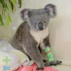 A koala that was hit by a car in Queensland in north-eastern Australia is recovering well after being rescued by the zoo owned by Steve Irwin's family.  Ben Beaden / Via Facebook: WildlifeWarriorsWorldwide The koala, named Bowie because it has differently coloured eyes similar to the late music icon David Bowie, escaped serious injury in the accident. Bowie is still being held at the zoo, but will be hopefully released back into the wild soon.
