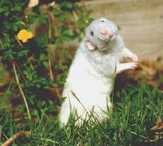 http://christinepurr.hubpages.com/hub/Pet-Rats-Are-Awesome-Rat-Care-Tips