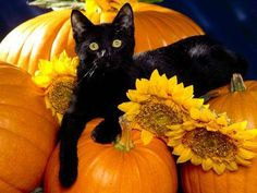 black kitten pumpkins sunflowers