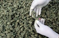 Estiman que el cannabis será el cultivo más rentable de Colombia - http://growlandia.com/marihuana/estiman-que-el-cannabis-sera-el-cultivo-mas-rentable-de-colombia/