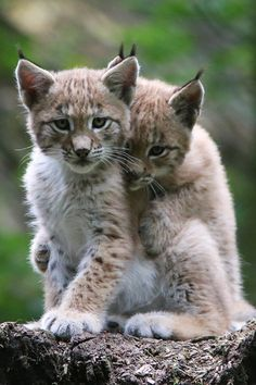 Young Lynxes by Lonesome Photographer